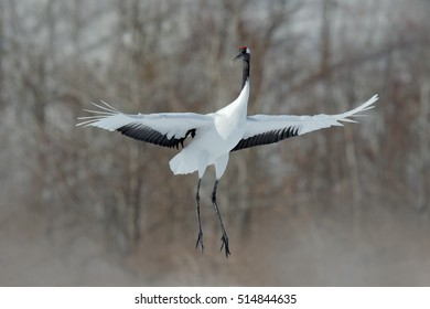 Flying White bird Red-crowned crane, Grus japonensis, with open wings. Wildlife scene from the winter in Japan.