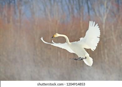 Flying white bird, Whooper Swan, Cygnus cygnus, with winter forest in background, Hokkaido, Japan. Action wildlife scene from nature.