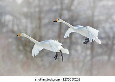 Flying white bird, Whooper Swan, Cygnus cygnus, with winter forest in background, Hokkaido, Japan. Action wildlife scene from nature. Pair of bird in winter condition.