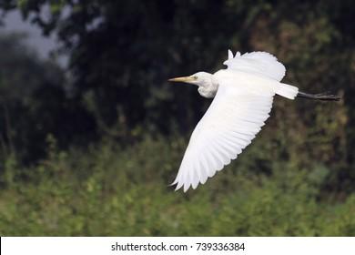 Flying white crane
