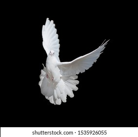 Flying white dove isolated on a black background