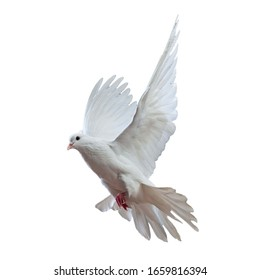 flying white dove on a white background