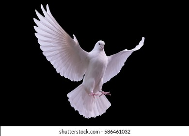 Flying white dove on a black background