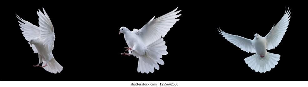 Flying white doves on a black background