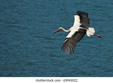 Flying white european stork on a blue water surface