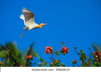 Flying  white heron - Bali, Indonesia