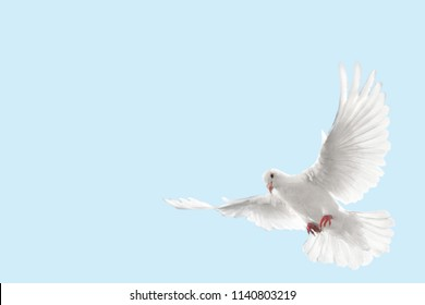 Flying White Pigion/Dove Isolated Background