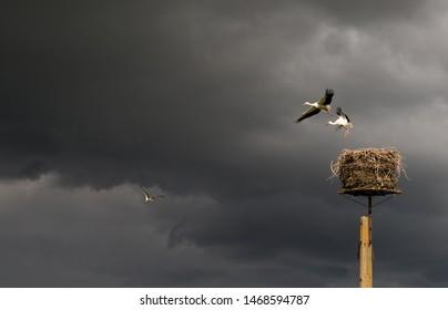 Flying white storks. Beautiful stork family leaving the nest on storm sky background.