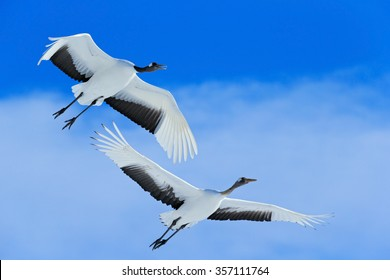 Flying White two birds Red-crowned crane, Grus japonensis, with open wings, blue sky with white clouds in background, Hokkaido, Japan.