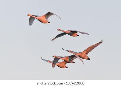 flying whooper swan, Cygnus cygnus, in winter, Lower Oder Valley National Park, Brandenburg, Germany