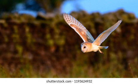 Flying Wild Barn Owl hunting at sunset time in nice light in the natural habitat in Yorkshire Dales, UK.