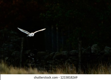 Flying Wild Barn Owl hunting at sunset time in beautiful light in the natural habitat in Yorkshire Dales, UK.