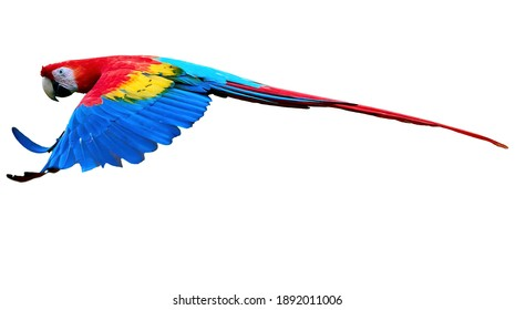 Flying wild red parrot, isolated on white background. Bright red and blue south american parrots,  Ara macao, Scarlet Macaw, flying with outstretched wings, wild amazonian bird.