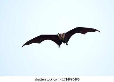 Flying-Fox or Fruit bat flying in the blue sky