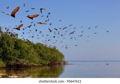 Flying-fox in Rinca, Indonesia