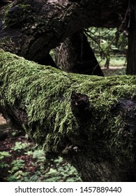 Flywheel covered tree, Golosiiv Forest, Kyiv