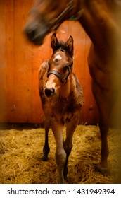 Foal in Boarding Barn at Farm in Kentucky horse country