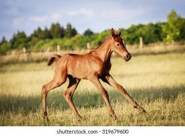 foal in the Czech countryside
