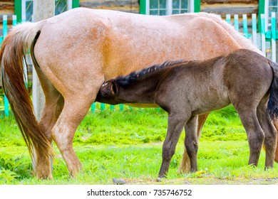A foal drinks milk from a horse