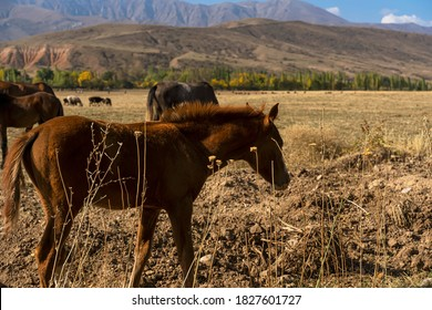 Foal in the foothills. A ginger foal grazes on a foothill pasture. Autumn landscape of Kazakhstan foothills. Mountains in the background. Mountain horse pasture. Dried Herb: the Beauty of a Free Horse