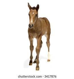 Foal in front of a white background