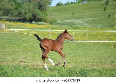 Foal in gallop