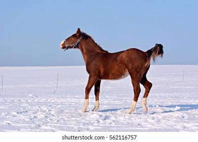Foal grazing in winter