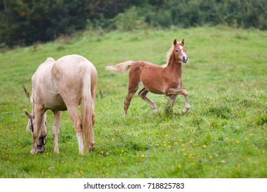 Foal with her mother on the meadow in summer