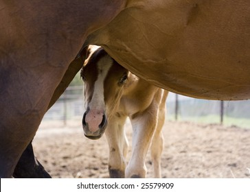 Foal Hiding Behind Mother Horse