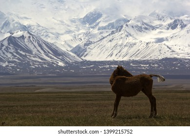 Foal in the Kyrgyz mountains