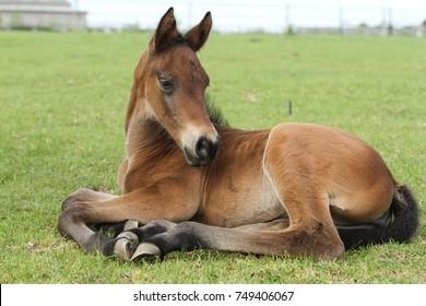 Foal lying down