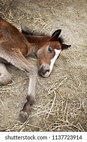 Foal lying on straw in a stable