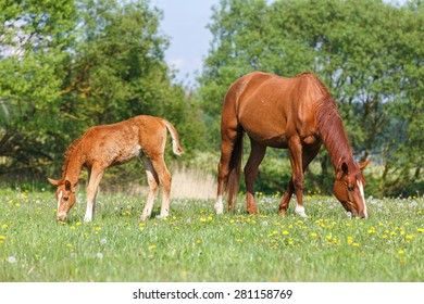 Foal and a mare grazing in the pasture.