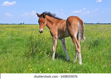 A foal on a summer pasture in a rural landscape.