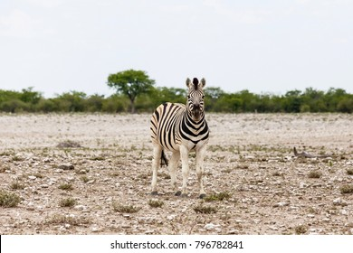 Foal of Plains Zebra (quus quagga), Etosha National Park, Namibia