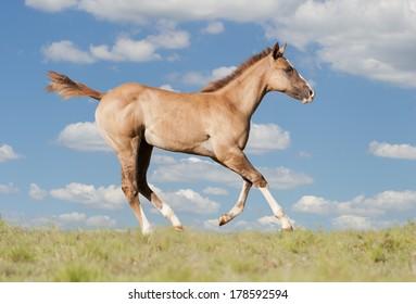 Foal Quarter horse