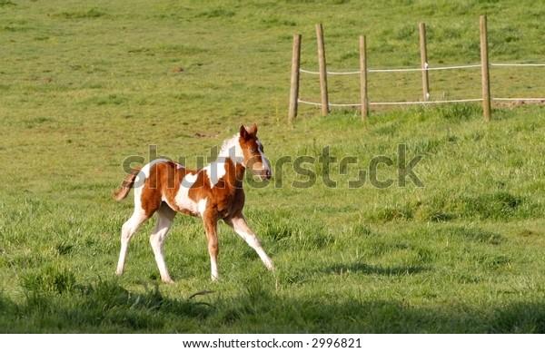 Foal Running through the Field