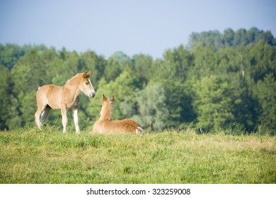 Foals on a pasture