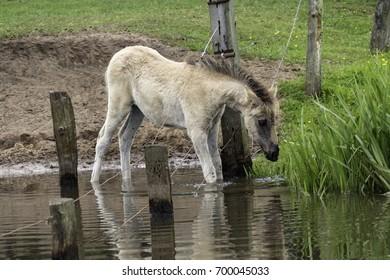 Foals in the water, wildly living horses in the Merfelder break, Duelmen, North Rhine-Westphalia, June, Germany