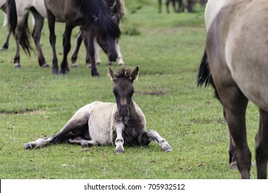 Foals, wildly living horses in the Merfelder break, Duelmen, North Rhine-Westphalia, Germany