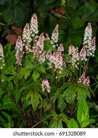 Foamflower or saxifragaceae, a perennial flowering plant, in a garden.