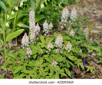 Foamflower (Tiarella) is a Perennial Flower That Grows in Shady Areas