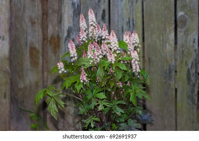 Foamflower or Tiarella with white blossoms in front of an old door in a cottage garden.