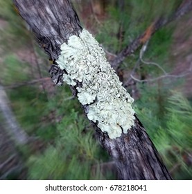 Focal zoom photo of crinkly lichen on the bark of a pine tree; Tonto National Forest in Arizona