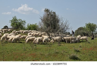 Fock of sheep in free nature