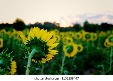 Focus of a back side view of a single sunflower in a field of others which are all facing the rising sun at Dorothea Dix Park in Raleigh North Carolina