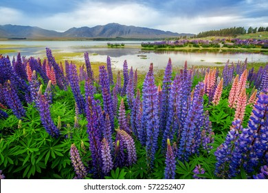 Focus Blended Image of Lake Tekapo Lupin Field in New Zealand summer season.