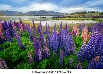 Focus Blended Lake Tekapo Lupin Field in New Zealand. Lupin field at lake Tekapo hit full bloom in December, summer season of New Zealand.