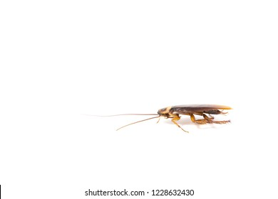 Focus body cockroach isolated on white background.