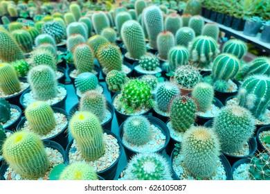 focus of Cactus (Echinocactus Grusonii) in the pot